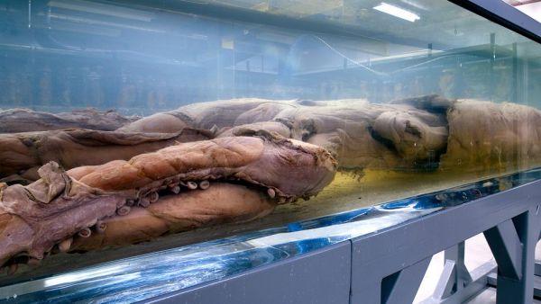 Гигантский кальмар Арчи